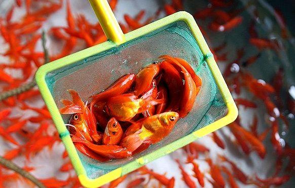 فروش ماهی قرمز ویژه عید نوروز در شهر تهران ممنوع شود