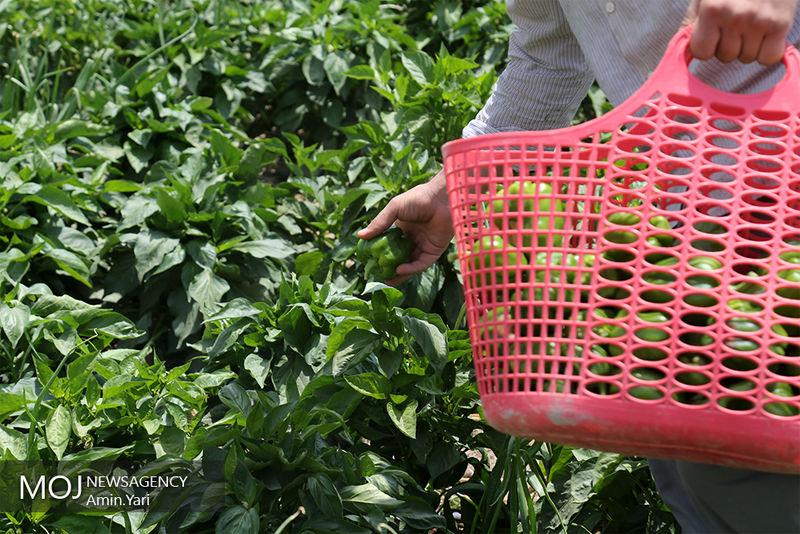 تولید  یک میلیون و ۹۵۰ هزار تن محصول خارج از فصل در هرمزگان