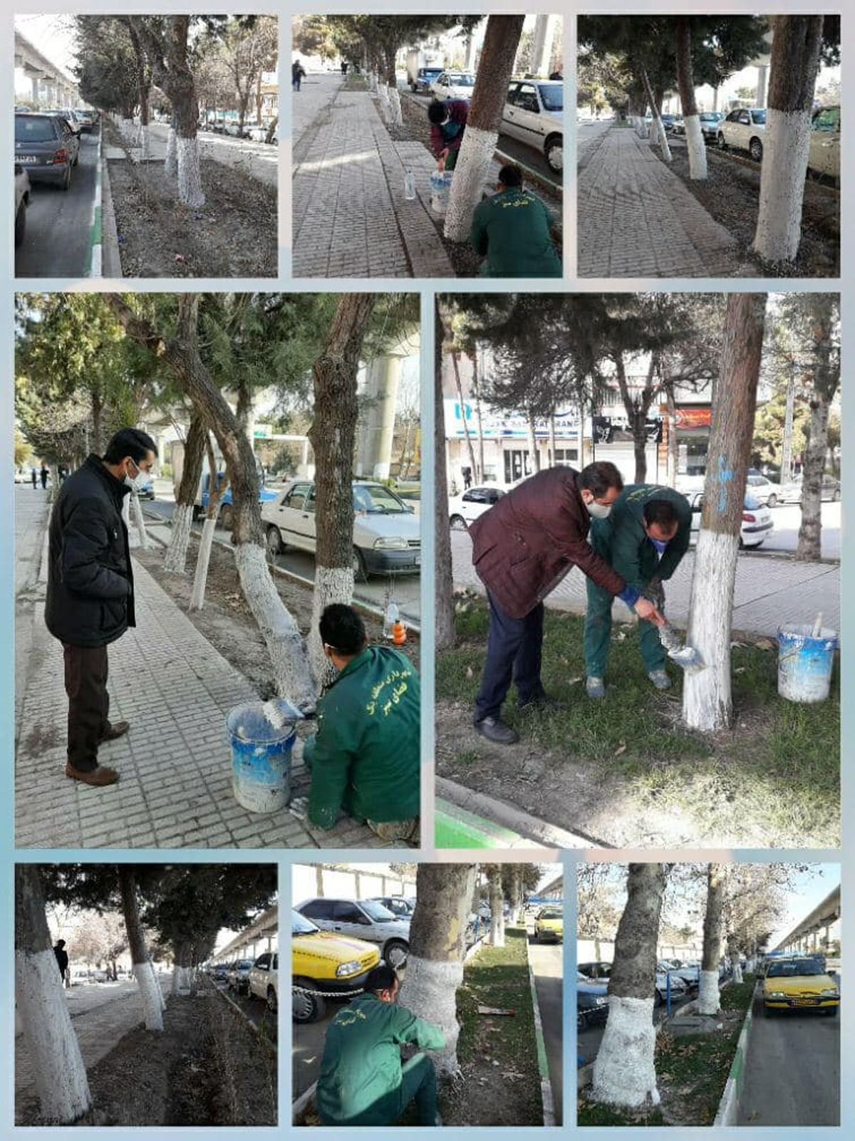 اندودکاری درختان شهر کرمانشاه بهصورت جامع صورت میگیرد