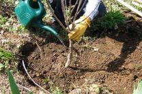 کاشت نهال یاس درختی در پیاده روهای بندرعباس