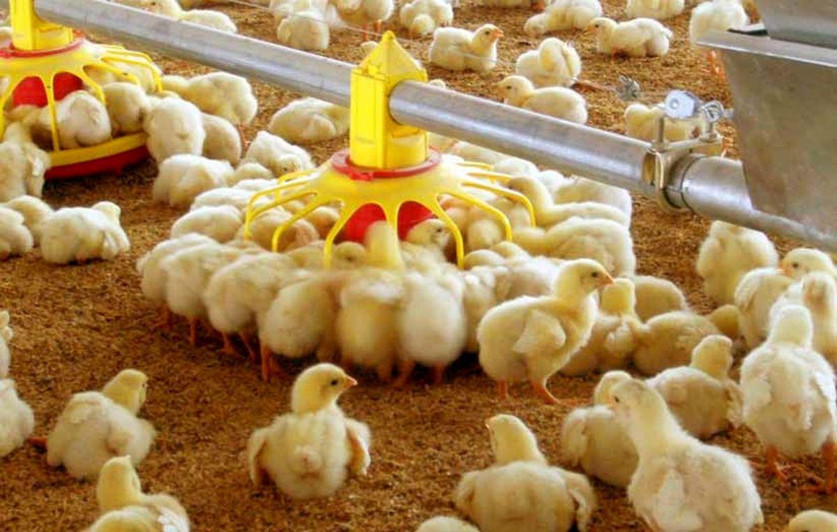 تولید سالانه 50 هزار تن گوشت سفید در آمل