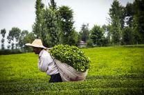 ۱۵ هزار تن چای داخلی دپو نشده است/۳ ماه فرصت مصرف داریم