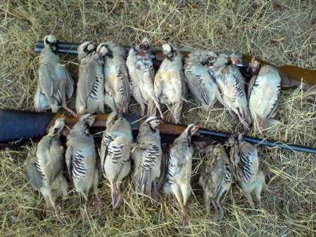 دستگیری متخلف شکار 8 کبک در گلپایگان