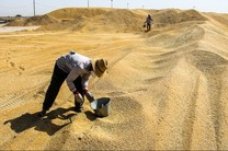 خرید تضمینی ۱۶ هزار تن گندم در همدان