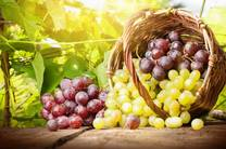 اختصاص مقام اول انگور باکیفیت در کشور به آذربایجان غربی