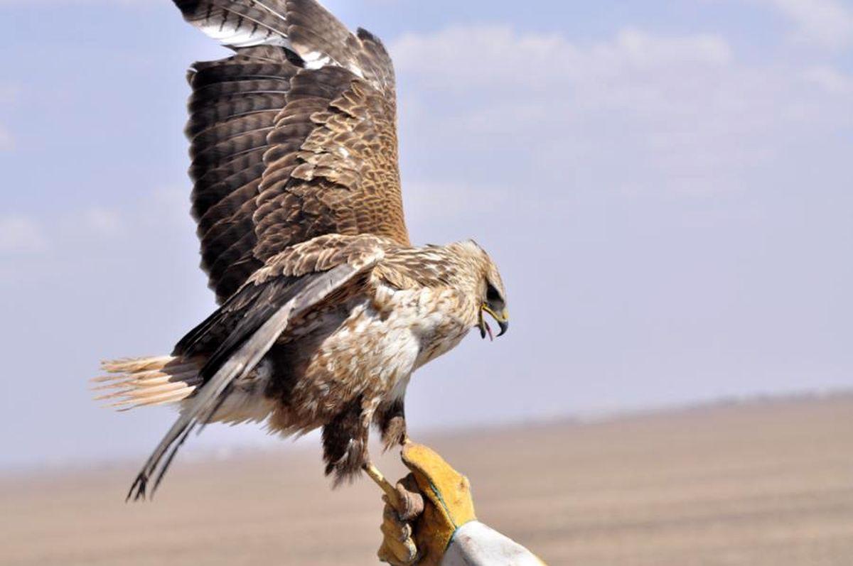 رها سازی پرندههای نادر شاهین و دلیجه در شهرستان نمین