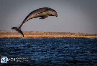 دلفین در خلیج فارس
