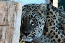 انتقال پلنگ سجیدان رودسر به باغ وحش پاراجین قزوین