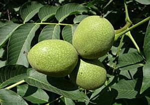 ایران سومین تولیدکننده گردوی جهان است