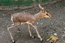 بیش از 150 راس آهو از منطقه حفاظت شده دیمه به حیات وحش رها شد