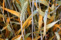 کنترل بیماری زنگ زرد در مزارع گندم دزفول