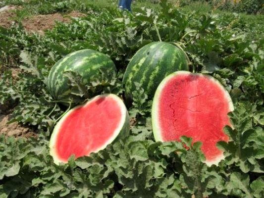استفاده از پودر بهداشتی برای رشد هندوانه کذب است