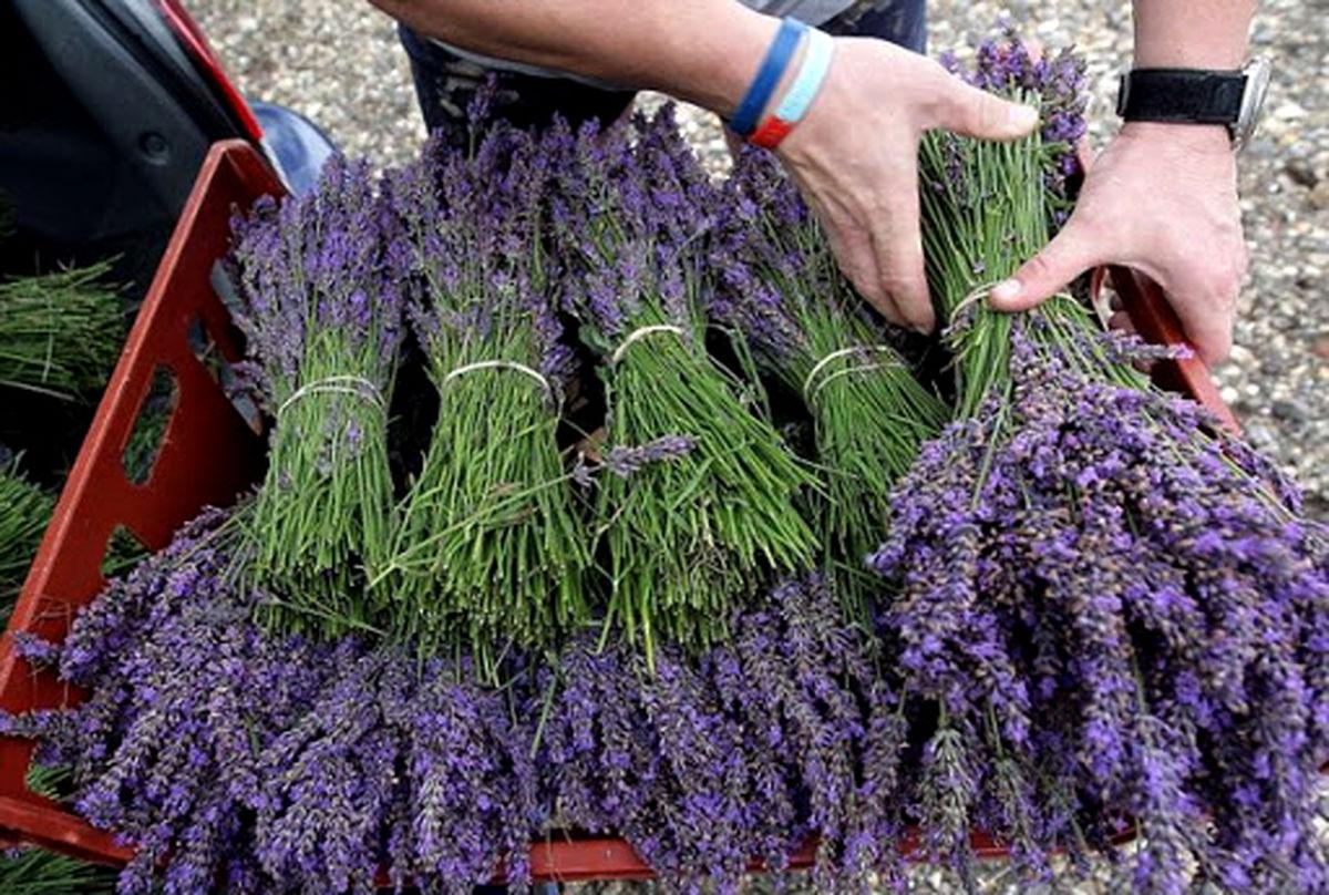 اسطوخودوس گیاهی با سودآوری بالا و مصارف زیاد در صنعت و دارو