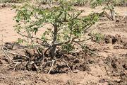 100 هکتار از باغات انار تنگه سیاب شهرستان کوهدشت از رسوبات سیل پاکسازی شد/ پاکسازی باغات انجیر پلدختر در حال انجام است