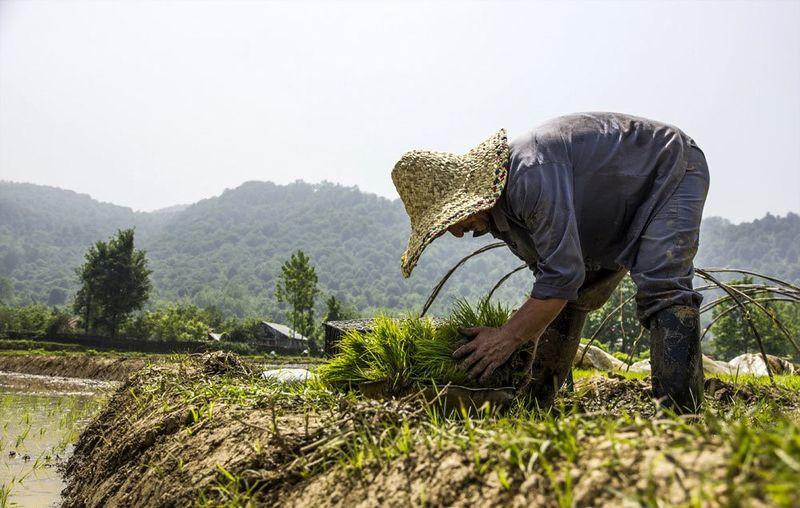 حذف یارانه بیمه برنج حربهای برای جلوگیری از کشت است