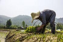 کشاورزان نسبت به پوشش نایلونی و گرم نگه داشتن خزانههای برنج اقدام کنند