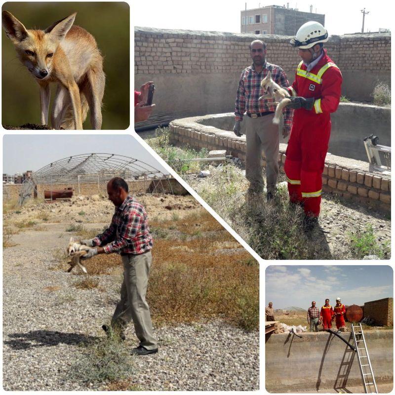 یک روباه گرفتار در استخر ذخیره آب کشاورزی در کاشان نجات و رهاسازی شد