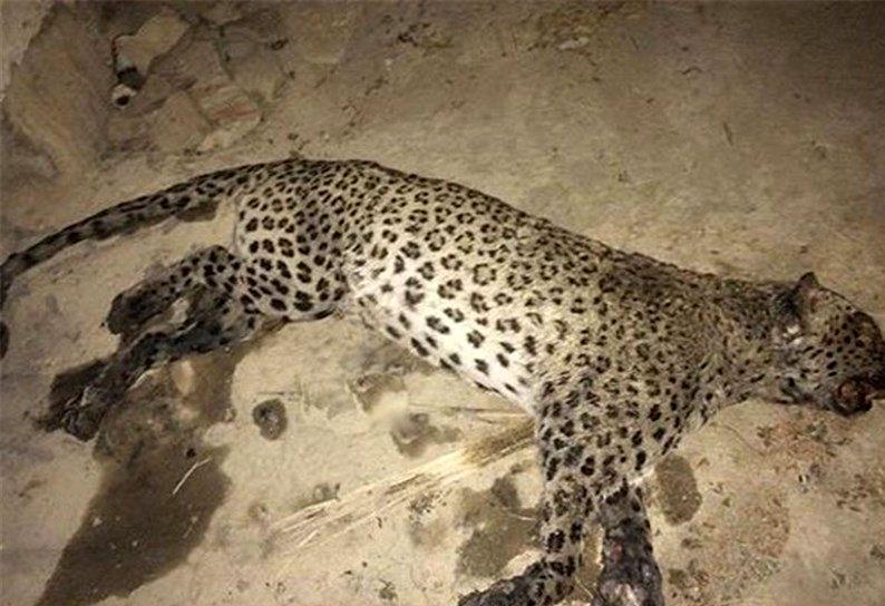 لاشه یک قلاده پلنگ ایرانی در منطقه حفاظت شده گنو  پیدا شد