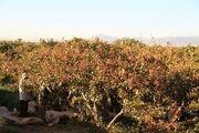 خسارت 420 میلیارد ریالی به باغات پسته در اردستان