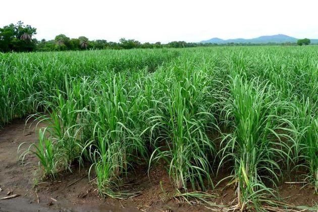 مصرف آب  در مزارع نیشکر نسبت به سال گذشته 40 درصد کاهش یافت