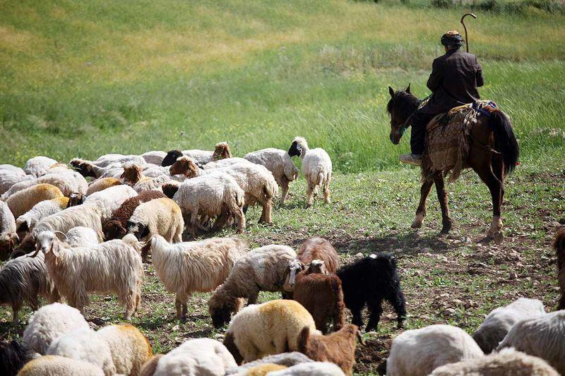 عشایر کرمانشاه سالانه بیش از 10 هزار تن گوشت قرمز تولید میکنند