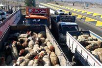 کشف 536 راس دام قاچاق طی دو عملیات در ماهیدشت کرمانشاه