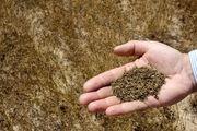 برداشت بیش از ۴۰ تن زیره از اراضی کشاورزی در دهاقان
