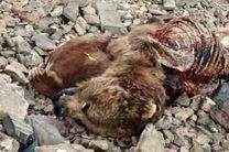 تلف شدن یک قلاده خرس قهوهای در نور