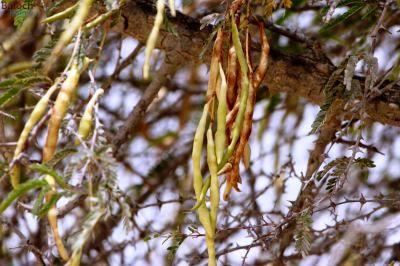 جمع آوری بذر درختان بومی در جاسک