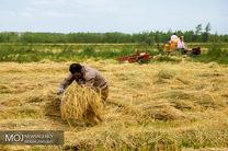 برداشت پاییزه برنج در هزار هکتار از شالیزارهای مازندران