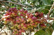 تشکیل صنف فروشندگان سم در رفسنجان/ صادرات 23 هزار تن پسته از رفسنجان