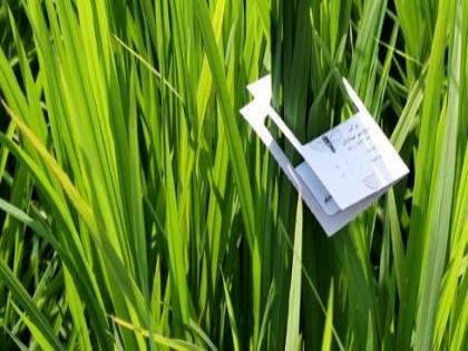 شروع مبارزه بیولوژیک زنبور تریکوگرما با آفت کرم ساقه خوار برنج
