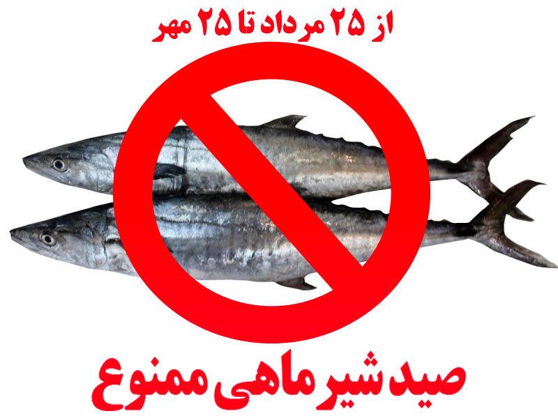 صید ماهی شیر به روش گوشگیر ممنوع شد