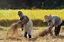 آغاز برداشت برنج در آستانه اشرفیه