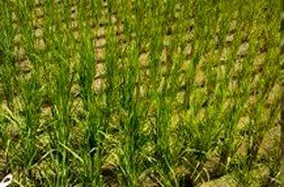 کشت برنج با آب شور