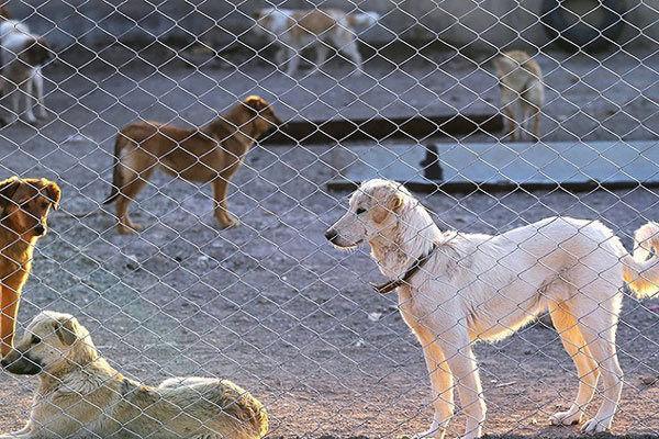 اعتراض مردم محلی سنگ تراشان ساری نسبت به وجود کمپ جمع آوری سگ های ولگرد