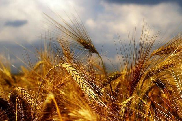 کردستان 3 برابر مصرف استان ظرفیت ذخیره گندم دارد