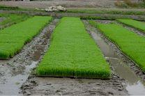 بذرپاشی بیش از 2 هزار  هکتار از اراضی شالیزاری شهرستان سیمرغ