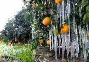 سرما زدگی محصولات زراعی و باغی در بشاگرد