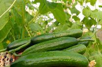 پیش بینی برداشت بیش از 100 تن خیار و سبزیجات گلخانه ای در میمه