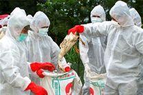تعطیلی مزرعه مرغ مادر گوشتی آلوده به آنفلوآنزای فوق حاد در محمودآباد
