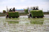 کشت مکانیزه برنج در اراضی شالیزاری گلوگاه آغاز شد