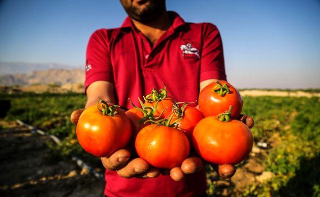خرید حمایتی گوجه فرنگی از کشاورزان بخش توکهور و هشتبندی