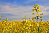 افزایش ۵۰ درصدی برداشت کلزا از مزارع استان اصفهان نسبت به سال گذشته