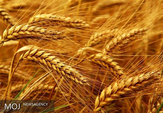 خرید تضمینی گندم از مرز ۱۰٫۷ میلیون تن فراتر رفت