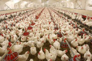 ضعف نظارت بر قیمت گذاری نهاده ها و بازار گوشت
