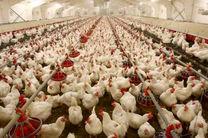 ۱۰ درصد تولید مرغ کشور مربوط به مازندران است