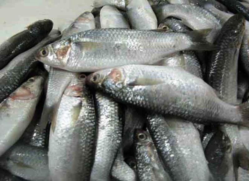 آغاز صید ماهی گاریز در آبهای هرمزگان