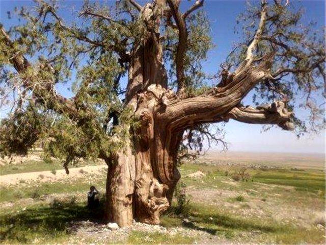 55 درخت کهنسال در اردبیل جهت ثبت ملی مطالعه می شود