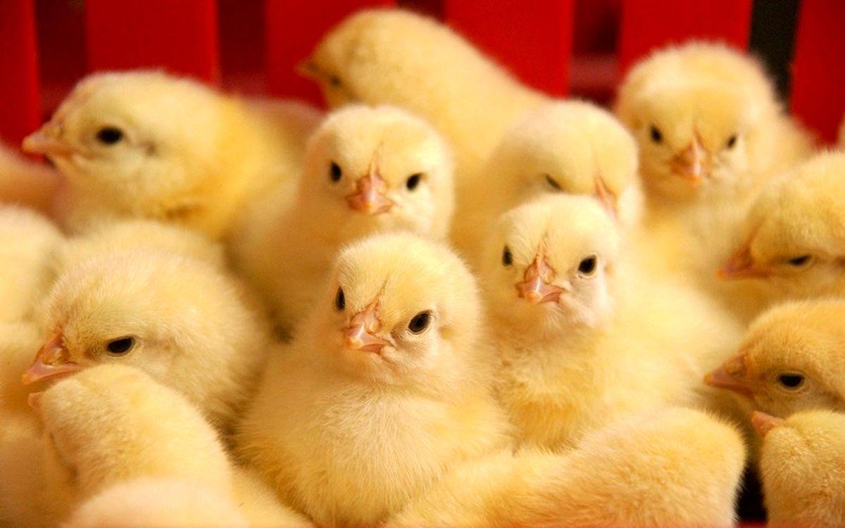 جوجه ریزی 67 واحد مرغداری در محمودآباد